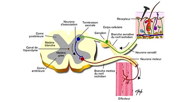 Figure 3 : Une coupe de la moëlle épinière sans Syringomyélie, avec le canal de l'épendyme au milieu. (source @ Centre de référence Syringomyélie)