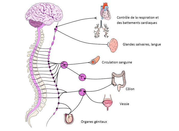 Figure 4 : Relation entre les organes ou les fonctions et le système nerveux. (source @ 2008 Laboratoires Servier)